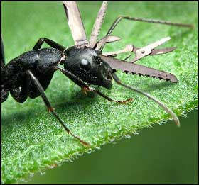 swiss-army-ant.jpg